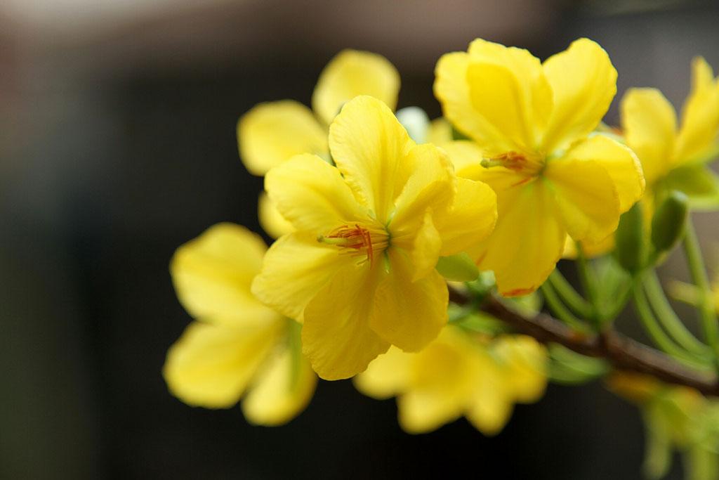 hinh nen hoa mai vang