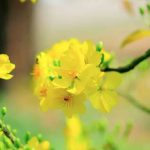 Hình nền hoa mai